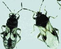 magnified image of hariy chinch bug