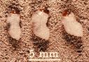 magnified image of bluegrass billbugs