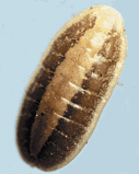 magnified image of turfgrass scale