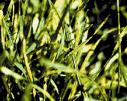 image of rust on grass